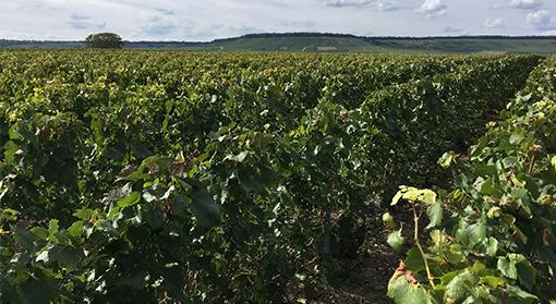 Photos des terroirs viticoles de Vertus, Voipreux et Vert-Toulon.
